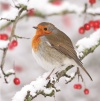 Christmas Cards - Robin in Snow - Pack of 10 - CMS - L2019