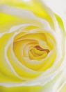 Card - Happy Birthday, Yellow Rose with ESV Bible text